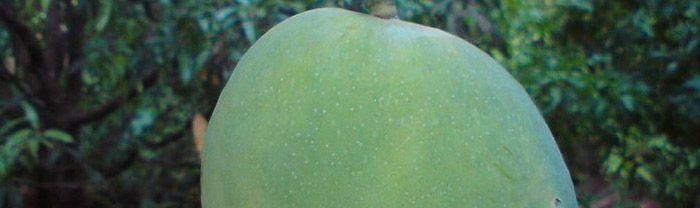 mango worm