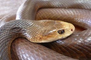 taipan snake australia